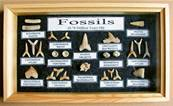FOSSILS SPECIMENS COLLECTION IN WOODEN DISPLAY CASE. SPR7448