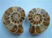 MADAGASCAN AMMONITE POLISHED PAIRS. 40 - 60MM. GRADE 'A' AMPAIRSTAND A