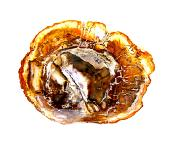 PETRIFIED WOOD POLISHED FACE TREE CROSS-SECTION.   SP11722SHLF