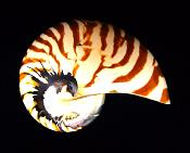 PEARLISED TRIMMED NAUTILUS SHELL.   SP10329