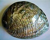 ABALONE NATURAL POLISHED SHELL (HALIOTIS RUFESCENS).    SHELL22