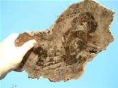 PETRIFIED WOOD SLICE GIANT 46CMX21CM PETWDSL02