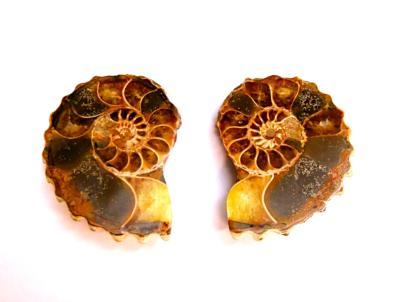 POLISHED FACE AMMONITE PAIR.   SP11049POL